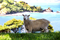 Sheep in Paradise
